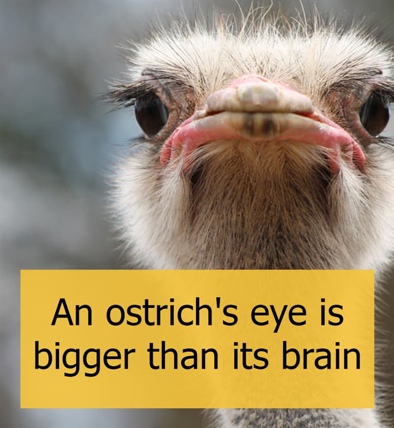 Culture Story: An ostrich's eye is bigger than its brain