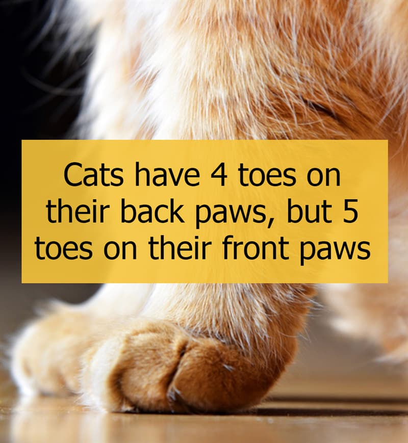 Culture Story: Cats have 4 toes on their back paws, but 5 toes on their front paws