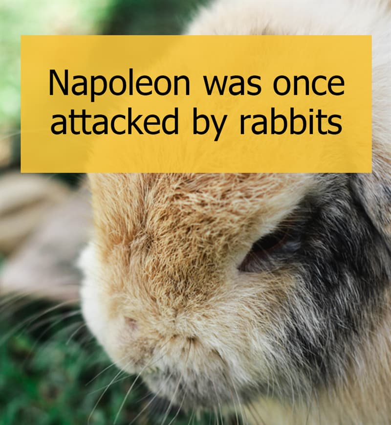Culture Story: Napoleon was once attacked by rabbits