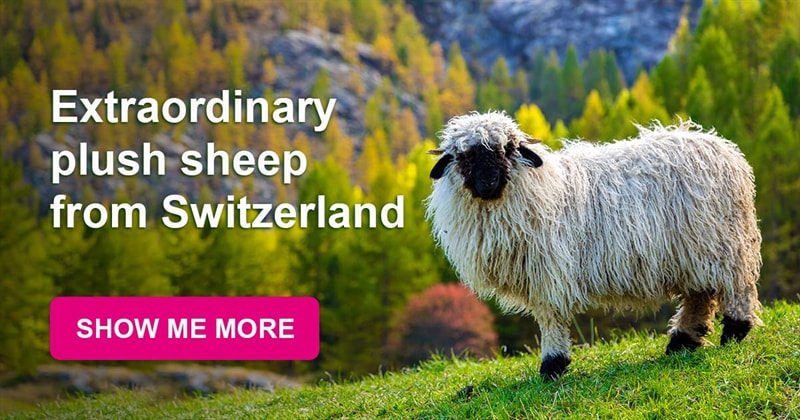 animals Story: They have taken the internet all over the world: amazing sheep from Switzerland!