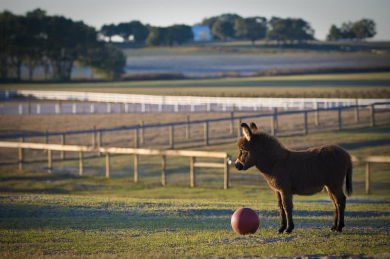 animals Story: 16 miniature donkeys that will definitely win your heart #12