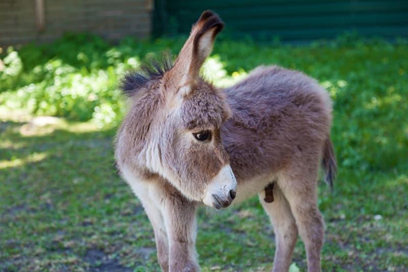 animals Story: 16 miniature donkeys that will definitely win your heart #13