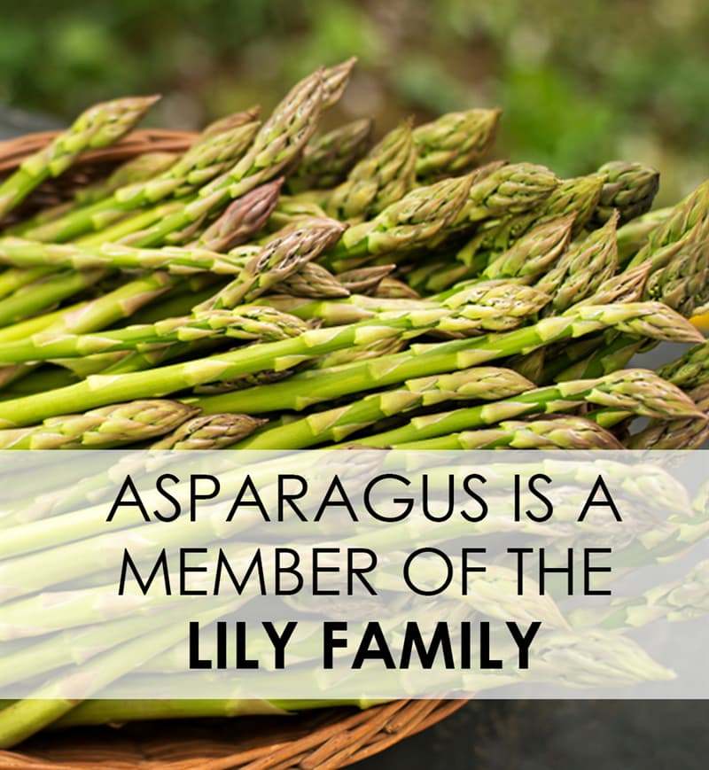 Culture Story: A vegetable full of surprises - everything you should know about asparagus #2