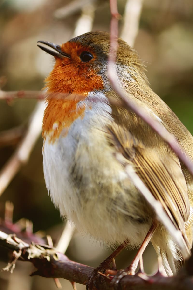 Geography Story: #2 Robin