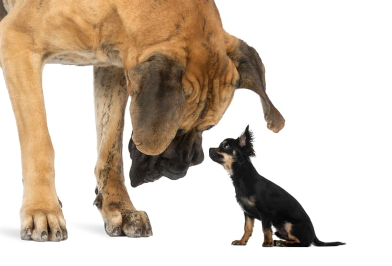 Science Story: Why do small dogs live longer than large dogs?