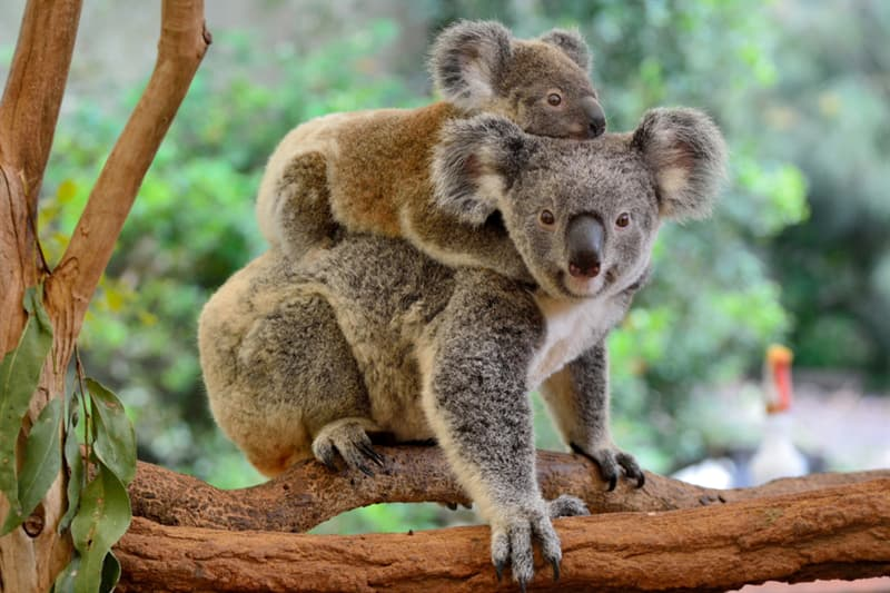 Geography Story: #4 Koalas