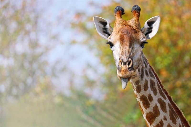 Geography Story: #5 Giraffes