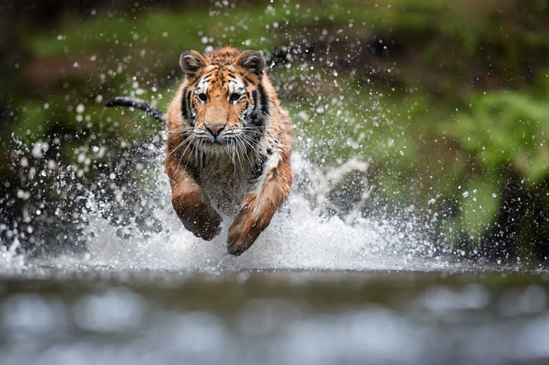 animals Story: Can you run from a tiger?