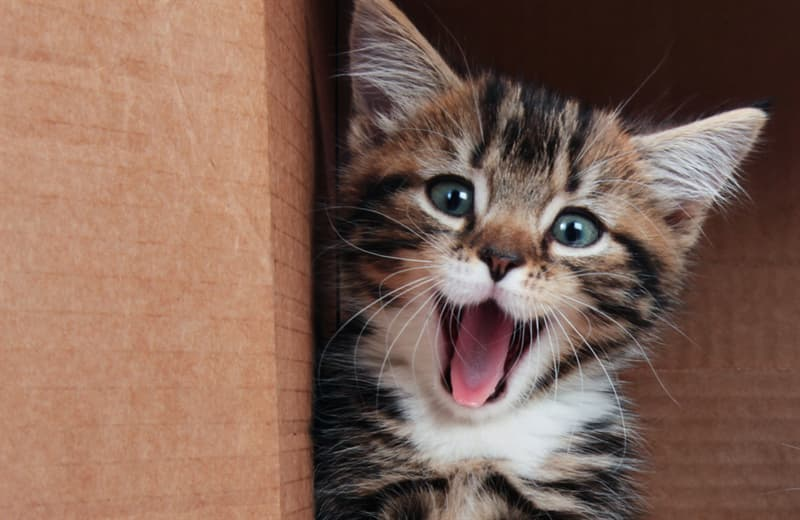 Science Story: Do cats all speak the same language?