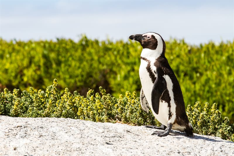 Geography Story: #1 African penguin