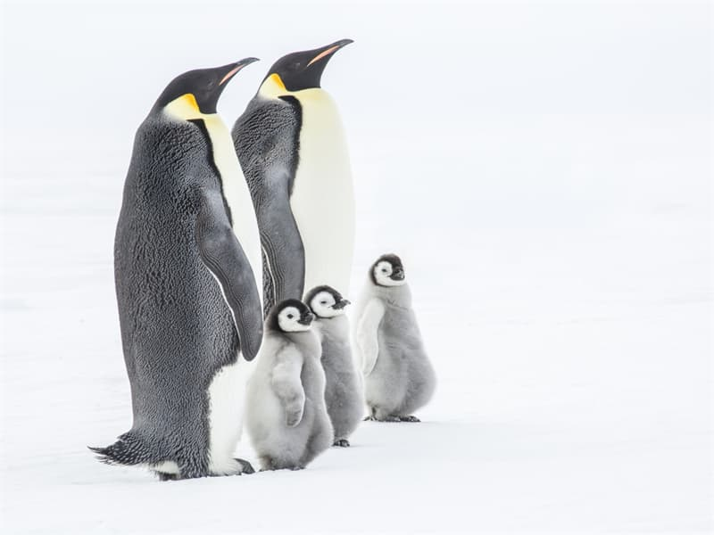 Geography Story: #10 Emperor Penguins and their chicks