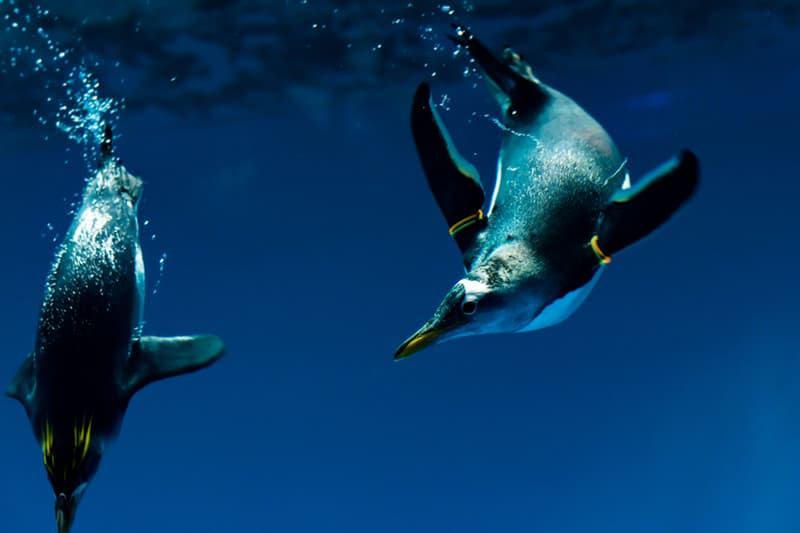 Geography Story: #12 Swimming penguins