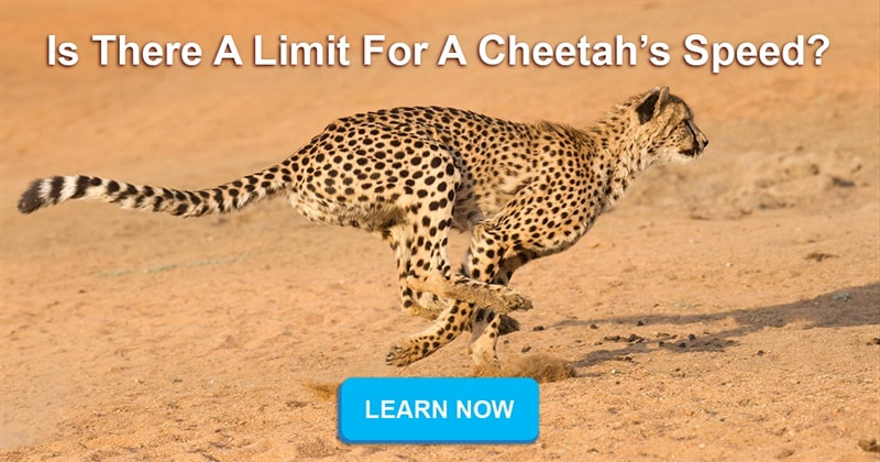 Nature Story: Do cheetahs die after sprinting for 30 seconds?