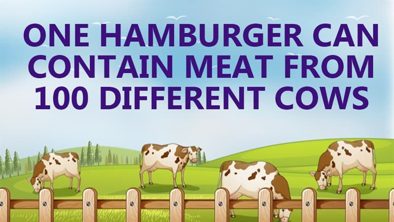 Culture Story: One hamburger can contain meat from 100 different cows
