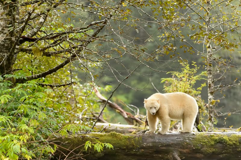 History Story: #1 Some black bears are born with white fur