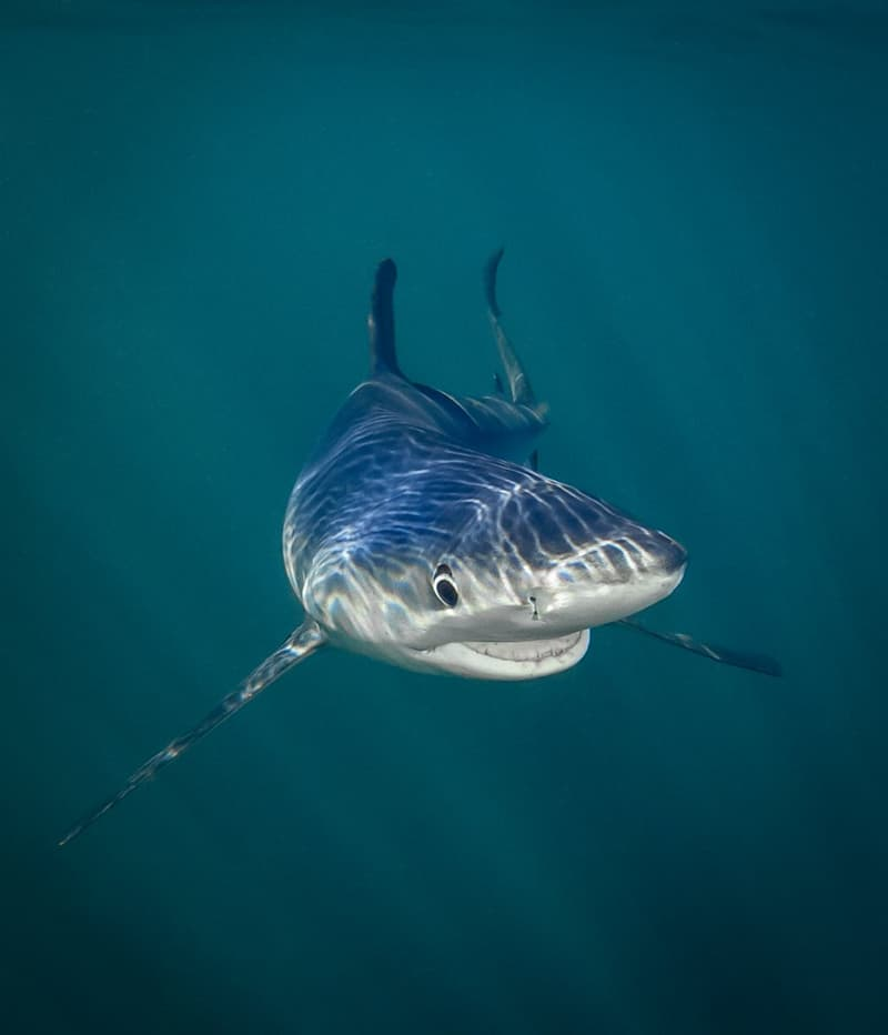 """Nature Story: #3 Under the Sea Category: """"Smiling Blue Shark"""""""