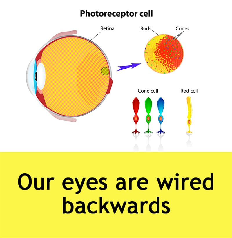 Science Story: Our eyes are wired backwards