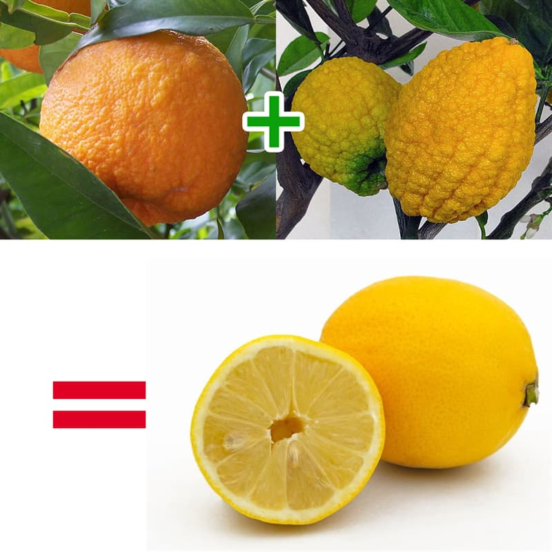 Science Story: Lemons are not naturally occurring – they are hybrids of citron and bitter orange.
