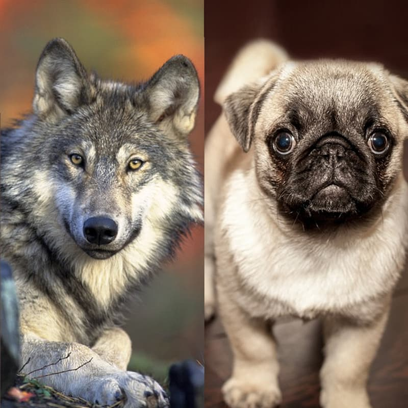 Science Story: Dogs as we know them today emerged 20,000-30,000 years ago as the result of domestication of the gray wolf