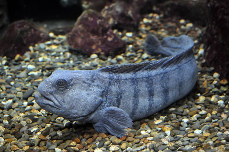 animals Story: A wolffish can be up to five feet long and its maximum weight is more than 30 kilograms (66 pounds).