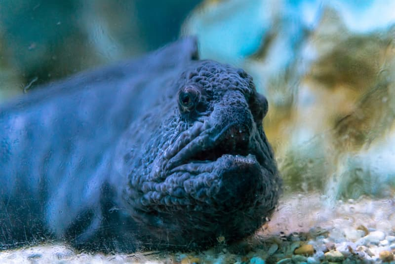 animals Story: There are five species of this fish: the Atlantic wolffish, the Bering wolffish, the spotted wolffish, the northern wolffish and the wolf eel.