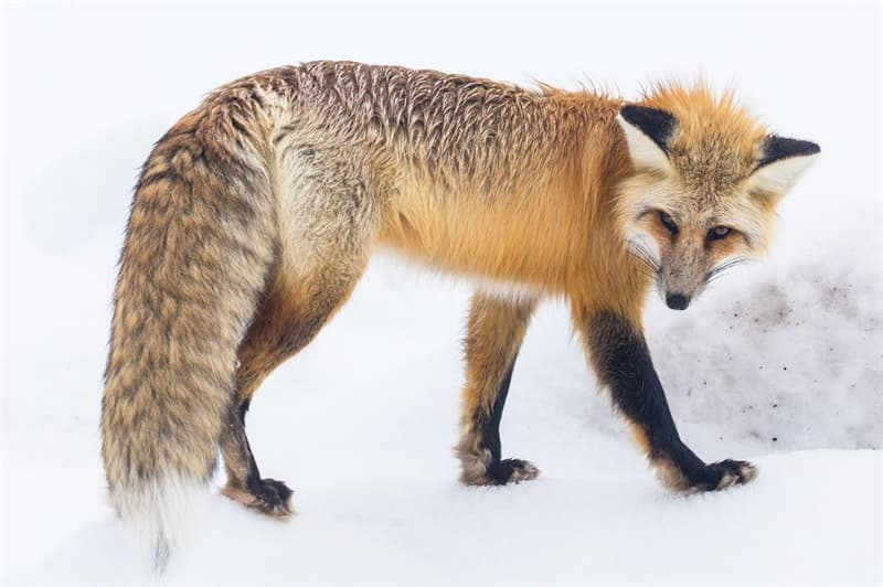 Nature Story: A cunning fox covers up her steps with her tail so that dogs can't find it. Besides, the tail helps a fox quickly change the direction - a fox can turn 90 degrees while running.