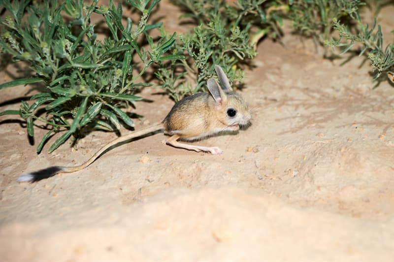 Nature Story: A jerboa has long tail with a switch. It also uses it as a rudder, besides the tail helps a jerboa to keep balance while jumping.
