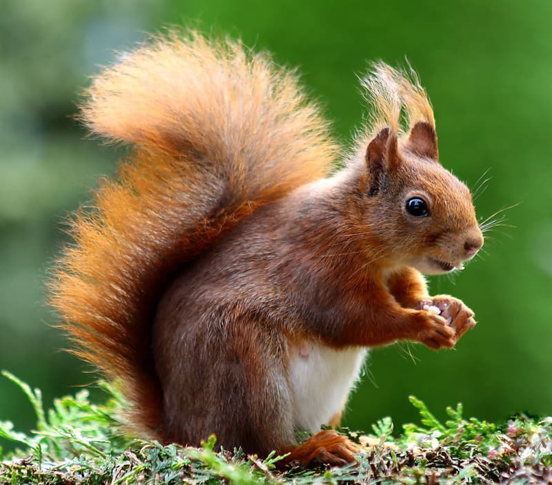 Nature Story: A squirrel uses its big fluffy tail as a parachute and a rudder. When a squirrel jumps from a tree, its tail (as a parachute) helps her to land successfully.