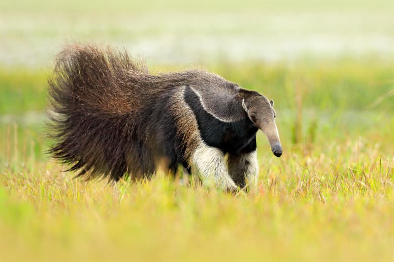 Nature Story: Kangaroos and anteaters use their tails as a leg to lean on.