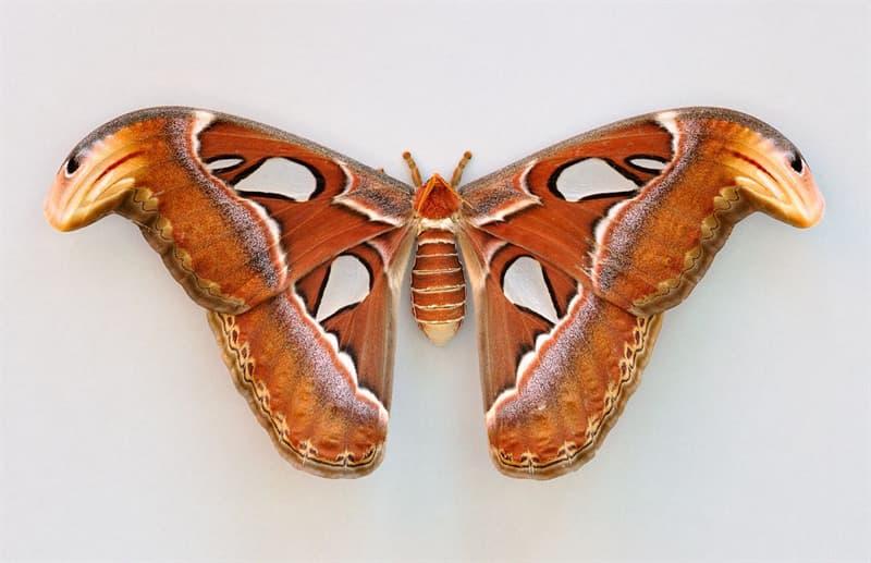 Nature Story: 1. Attacus atlas