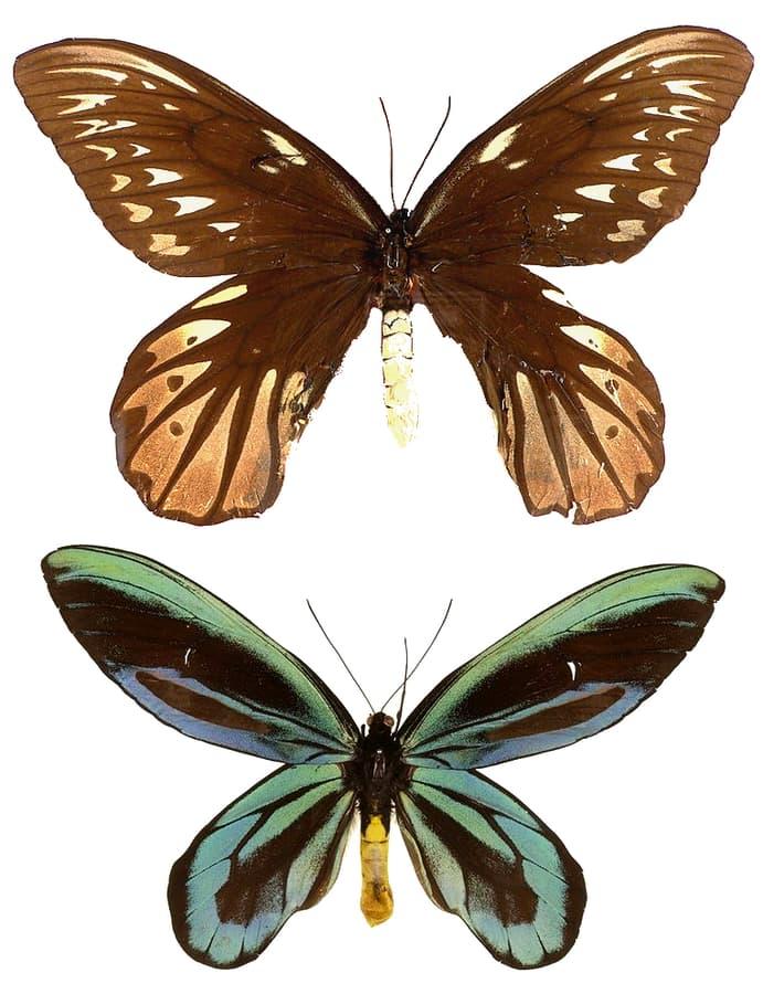 Nature Story: 2. The Queen Alexandra's birdwing