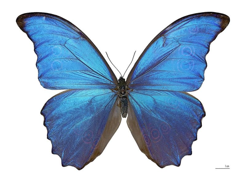Nature Story: 7. The morpho butterflies