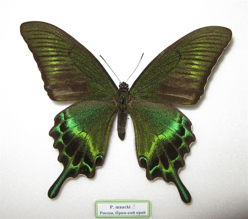 Nature Story: 9. The alpine black swallowtail
