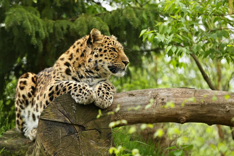 Society Story: #5 There are only 57 Amur leopards left