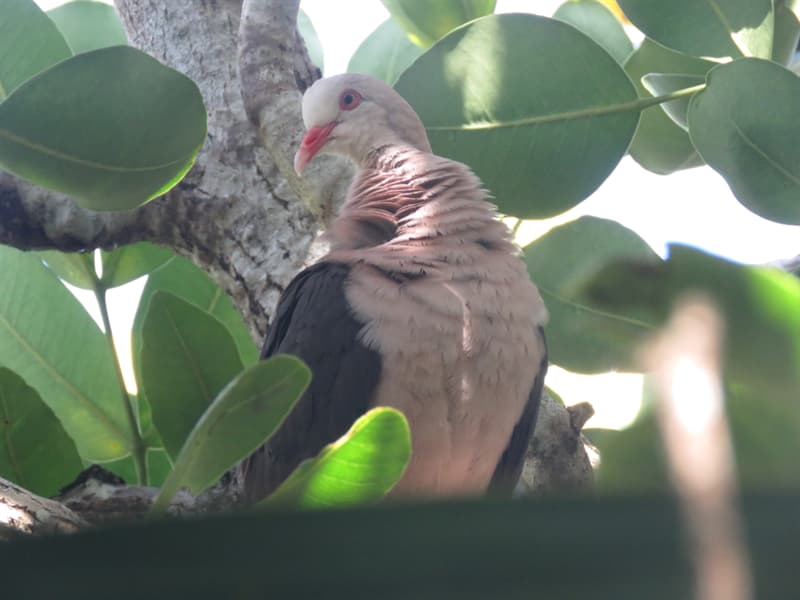 Society Story: Pink pigeons do really exist, though they look a bit different. It is a species of pigeon endemic to Mauritius.