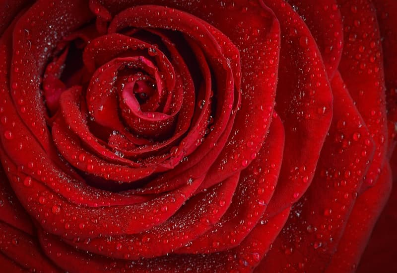 Nature Story: #10 Rose is the national flower of the USA