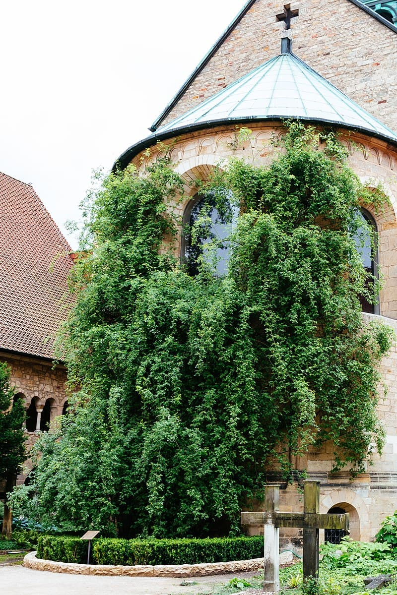 Nature Story: #7 The world's oldest rose bush is 1000 years old