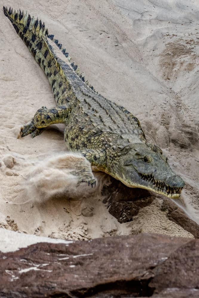 History Story: #8 You have to run in a zigzag pattern from a crocodile