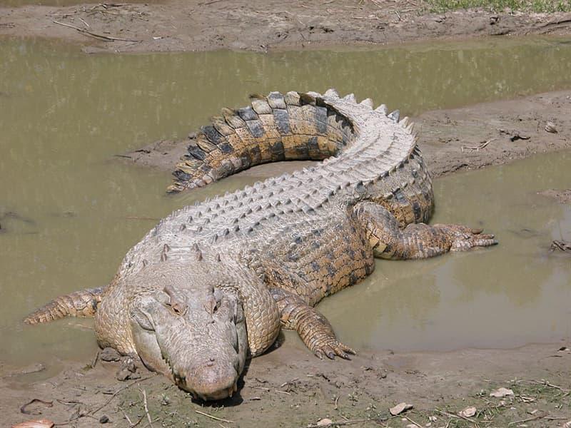 Nature Story: #1 Saltwater crocodiles