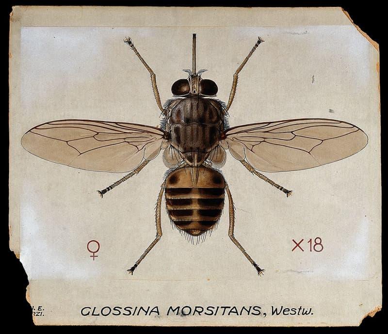 Nature Story: #2 Tsetse Fly
