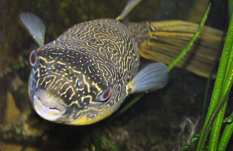 Nature Story: #4 Puffer fish