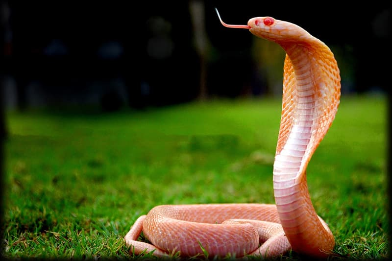 Nature Story: #7 Asian cobra