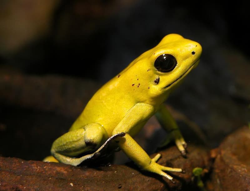 Nature Story: #9 Golden poison dart frog