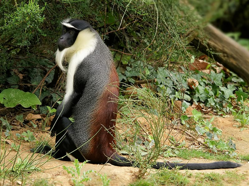 Nature Story: #14 Roloway Monkey