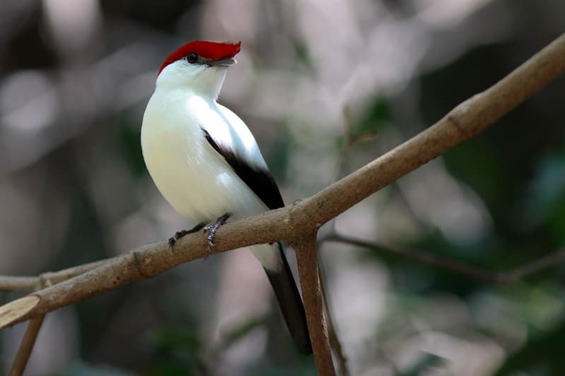 Nature Story: #15 Araripe Manakin