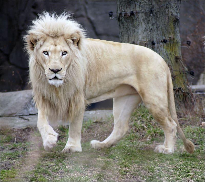 Nature Story: #3 White Lion