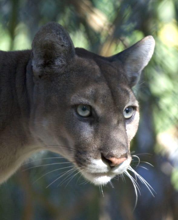 Nature Story: #4 Florida Panther
