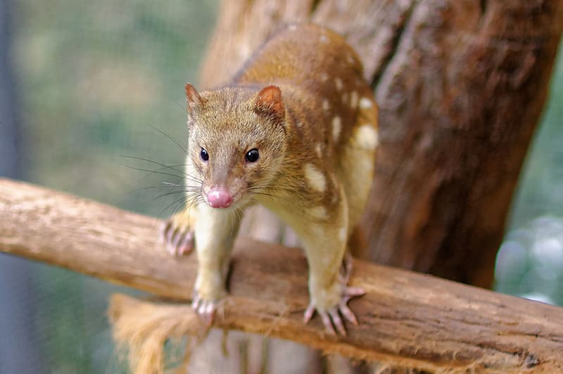 Nature Story: #6 Tiger Quoll