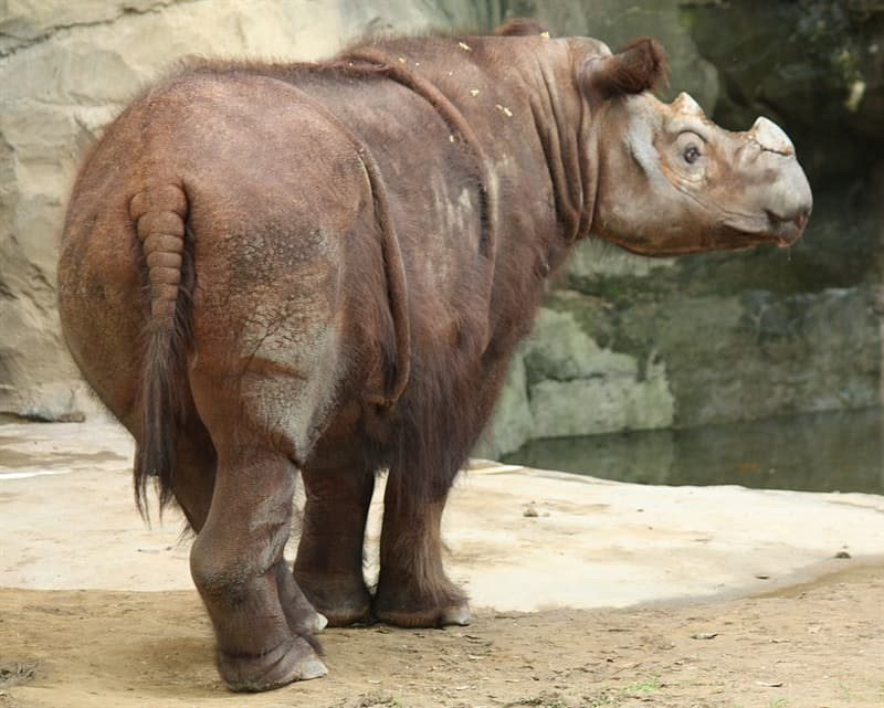 Nature Story: #7 Sumatran Rhino