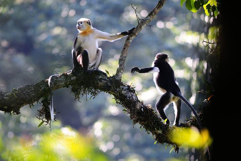 Nature Story: #8 Tonkin Snub Nosed Monkey